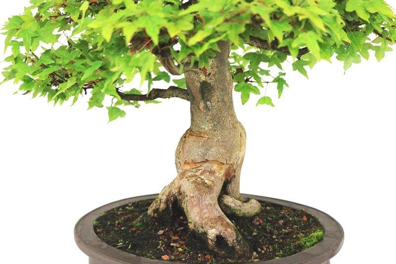 Bonsai Acer Kaede  23 anos - medida da planta (AxL) 38x42 cm