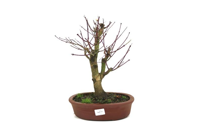Bonsai Acer Palmatum aproximadamente 14 anos - medida da planta (AxL) 31x28 cm
