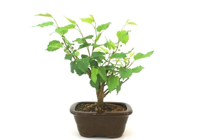 Bonsai amora aproximadamente 03 anos - medida da planta (AxL)  14x15 cm