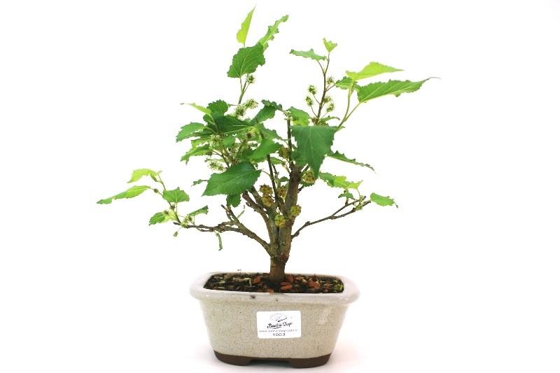 Bonsai amora aproximadamente 03 anos - medida da planta (AxL)  17x18 cm