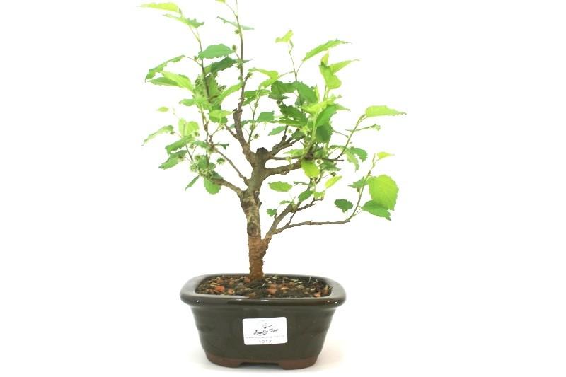 Bonsai amora aproximadamente 03 anos - medida da planta (AxL)  18x20 cm
