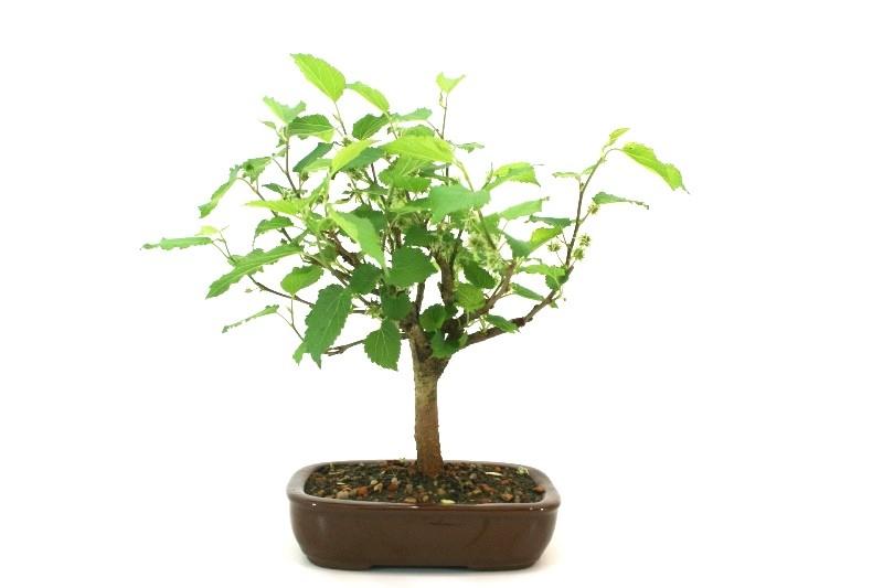 Bonsai amora aproximadamente 04 anos - medida da planta (AxL)  19x20 cm