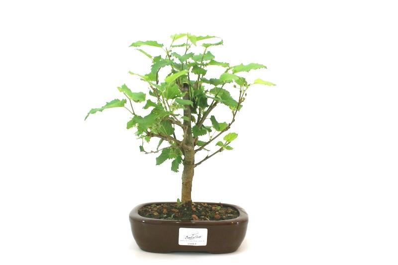 Bonsai amora aproximadamente 04 anos - medida da planta (AxL)  20x20 cm