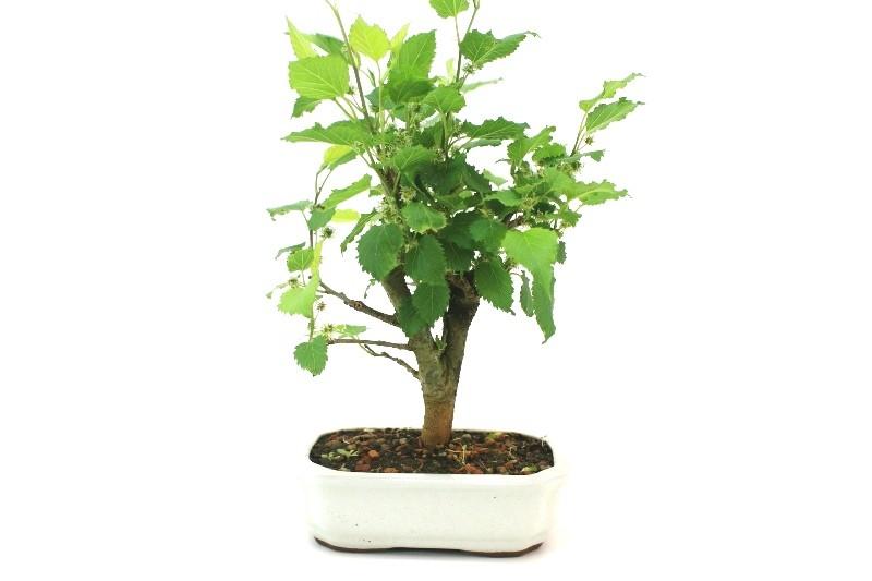 Bonsai amora aproximadamente 04 anos - medida da planta (AxL)  22x20 cm