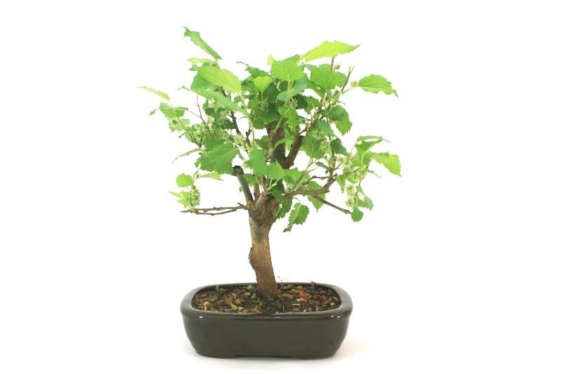 Bonsai amora aproximadamente 04 anos - medida da planta (AxL)  22x22 cm