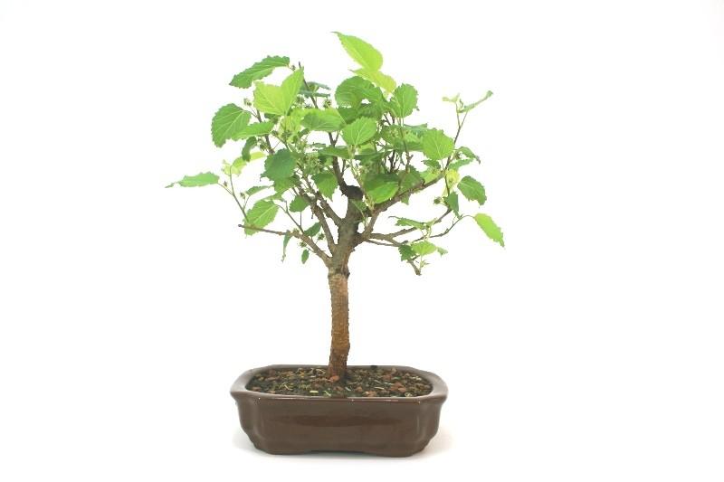 Bonsai amora aproximadamente 04 anos - medida da planta (AxL)  22x23 cm