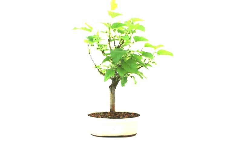 Bonsai amora aproximadamente 05 anos - medida da planta (AxL)  20x20 cm