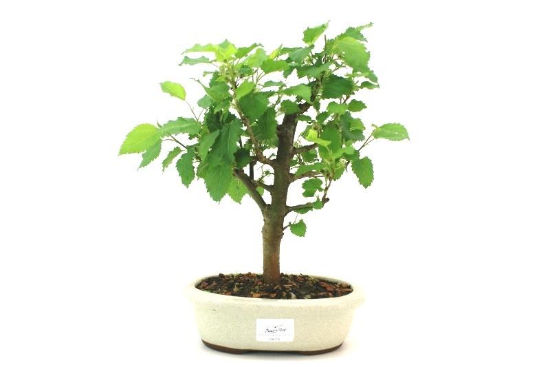 Bonsai amora aproximadamente 05 anos - medida da planta (AxL)  23x18 cm