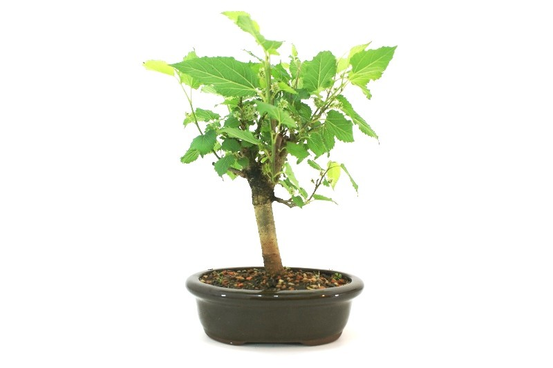 Bonsai amora aproximadamente 05 anos - medida da planta (AxL)  23x20 cm
