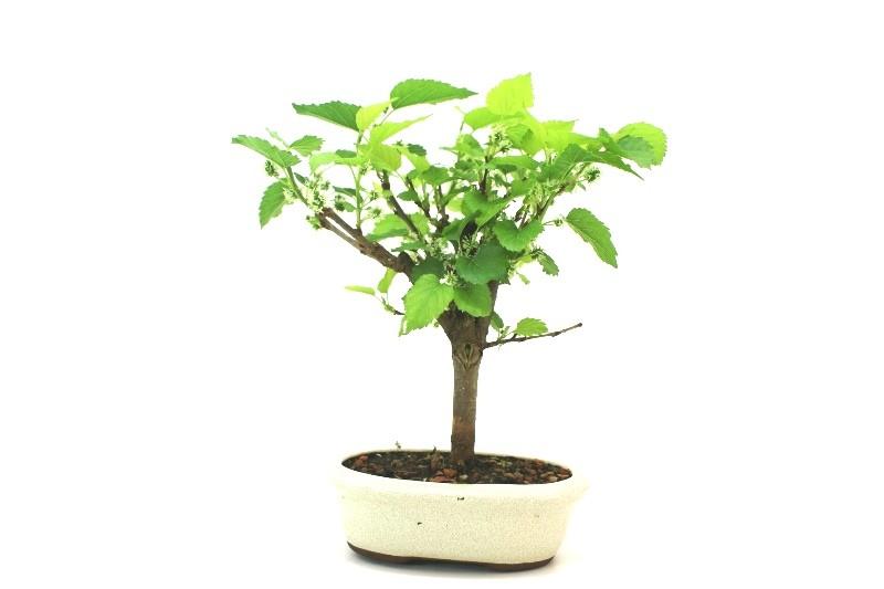Bonsai amora aproximadamente 05 anos - medida da planta (AxL)  23x24 cm