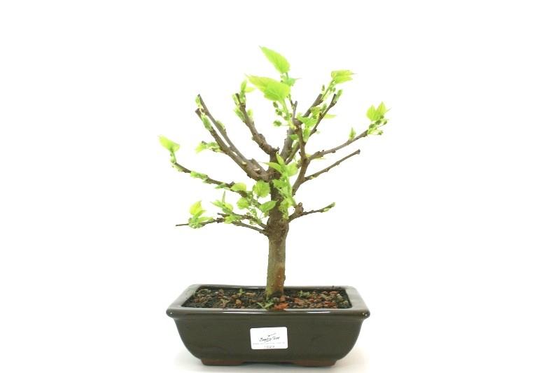 Bonsai amora aproximadamente 06 anos - medida da planta (AxL)  21x21 cm