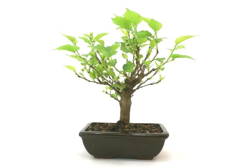 Bonsai amora aproximadamente 06 anos - medida da planta (AxL) 22x24 cm