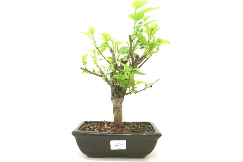Bonsai amora aproximadamente 06 anos - medida da planta (AxL) 23x21 cm