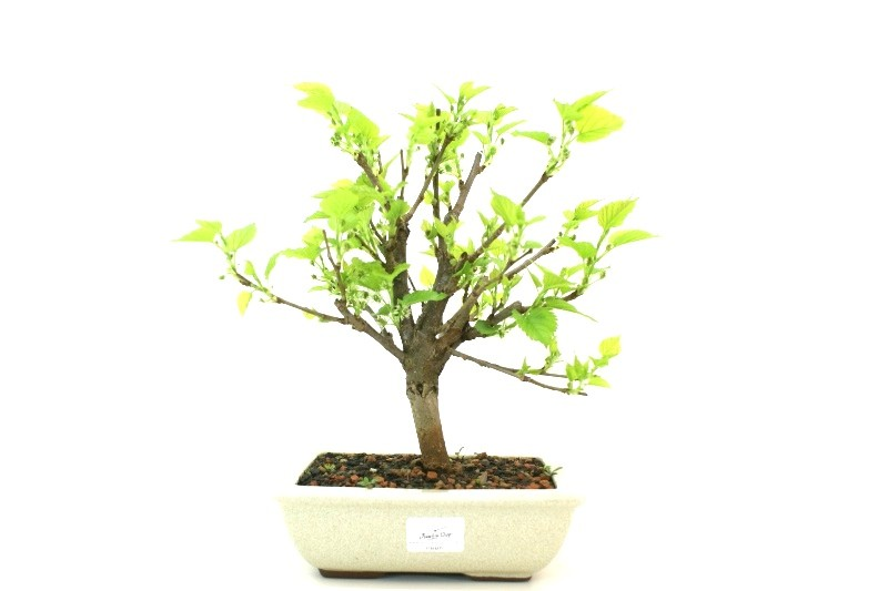 Bonsai amora aproximadamente 06 anos - medida da planta (AxL) 23x25 cm