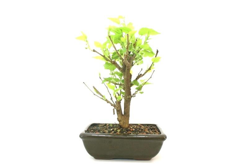Bonsai amora aproximadamente 06 anos - medida da planta (AxL)  24x20 cm