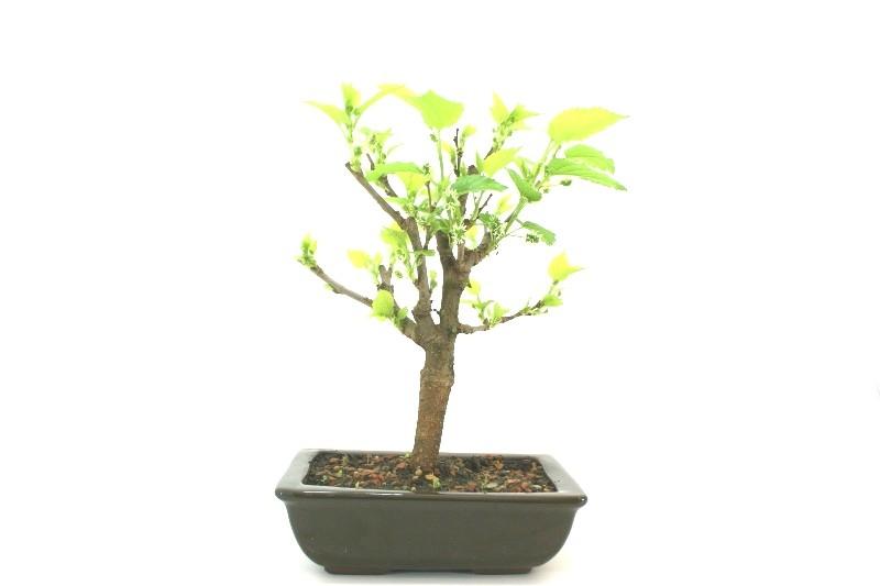 Bonsai amora aproximadamente 06 anos - medida da planta (AxL) 24x21 cm