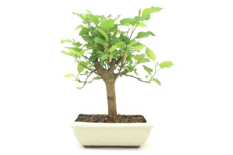 Bonsai amora aproximadamente 06 anos - medida da planta (AxL) 25x24 cm