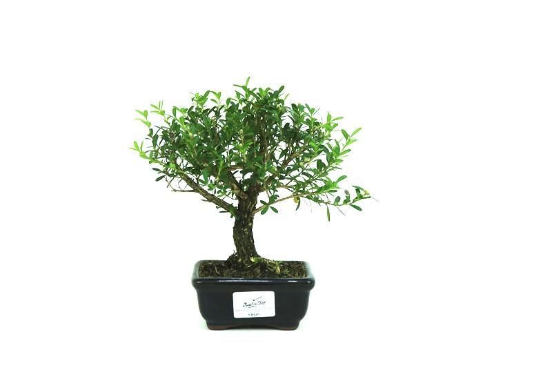 Bonsai Buxinho 03 anos - medida da planta (AxL) 20x18 centímetros