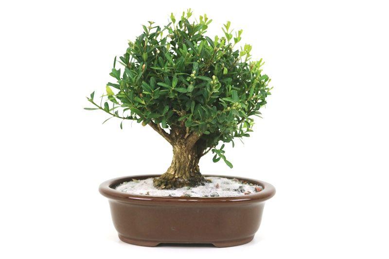 Bonsai Buxinho 05 anos - medida da planta (AxL) 18x18centímetros