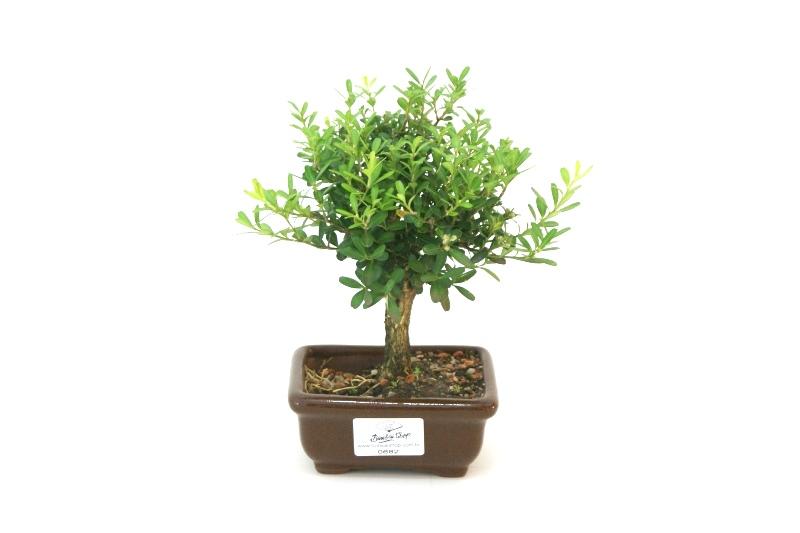 Bonsai Buxinho aproximadamente 02 anos - medida da planta (AxL) 12x17 cm
