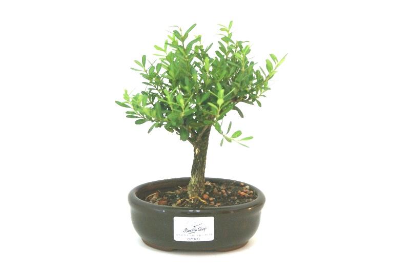 Bonsai Buxinho aproximadamente 02 anos - medida da planta (AxL) 15x15 cm