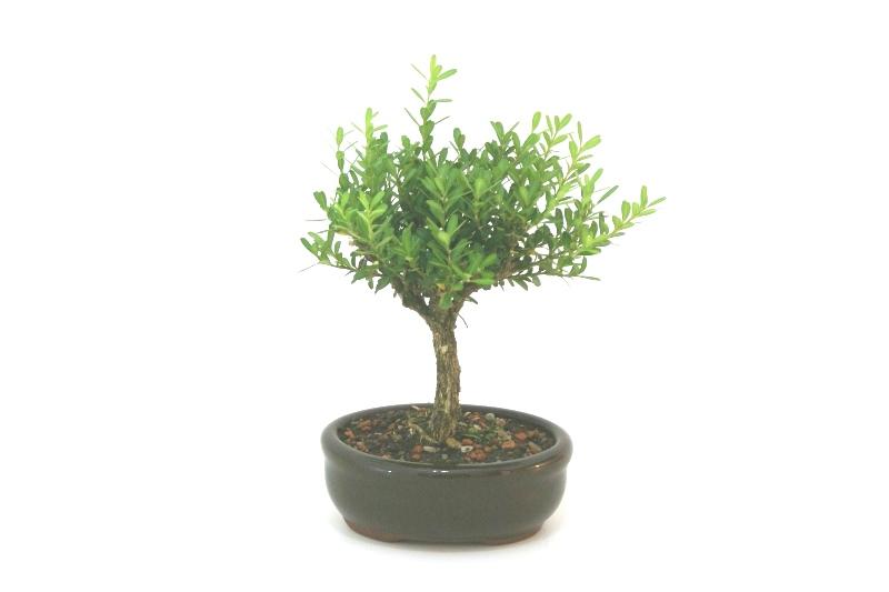 Bonsai Buxinho aproximadamente 02 anos - medida da planta (AxL) 18x17 cm