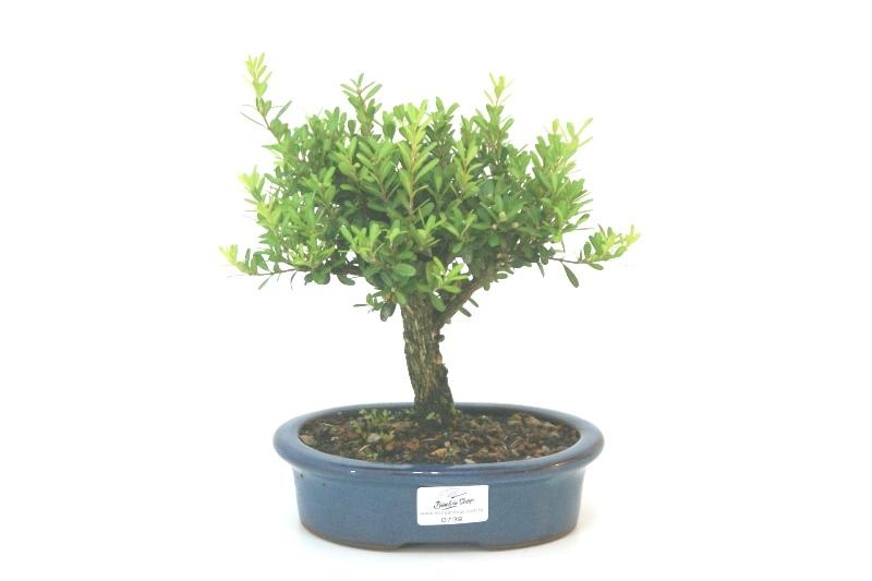 Bonsai Buxinho aproximadamente 04 anos - medida da planta (AxL) 13x14 cm
