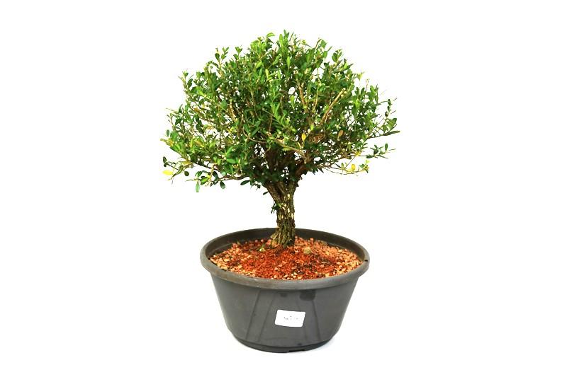 Bonsai Buxinho Harlandi aproximadamente 08 anos - medida da planta (AxL) 27x29 cm