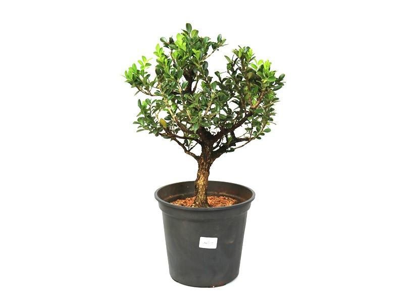 Bonsai Buxinho Harlandi aproximadamente 08 anos - medida da planta (AxL) 36x30 cm