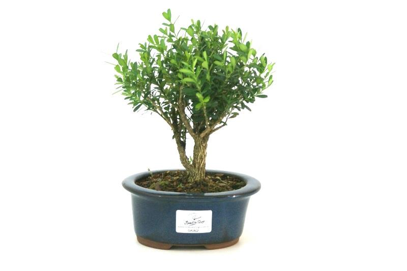Bonsai Buxinho harlandii aproximadamente 03 anos - medida da planta (AxL) 13x15 cm
