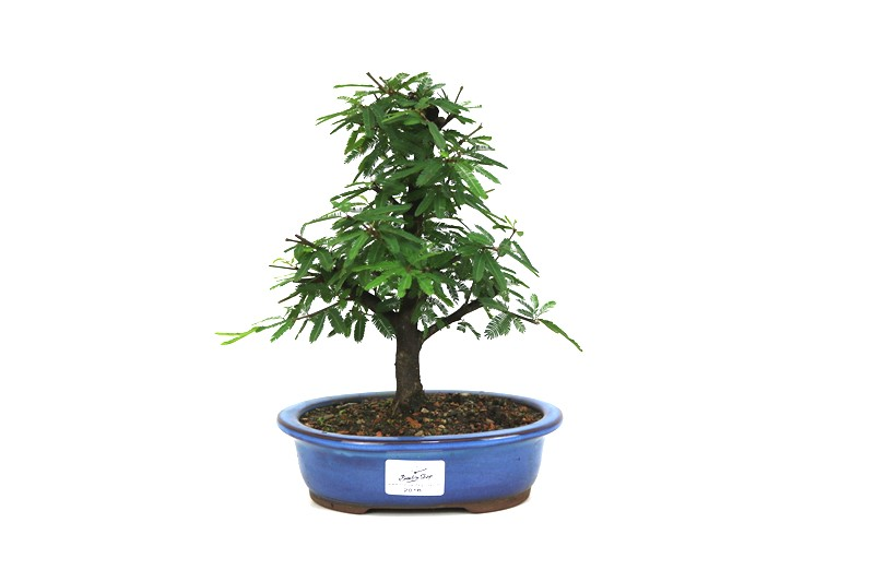 Bonsai Caliandra 05 anos - medida da planta (AxL)20x18 centímetros
