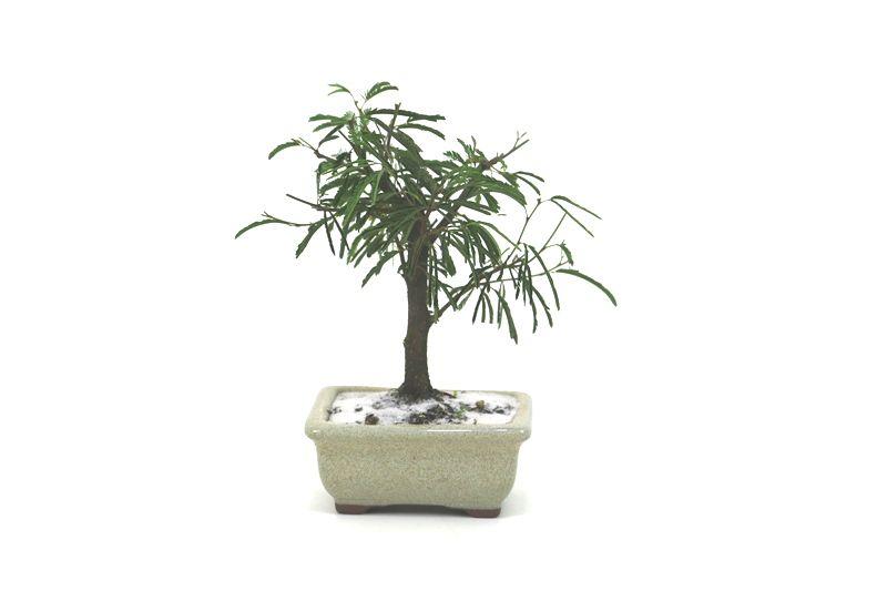 Bonsai Caliandra Branca 02  anos - medida da planta (AxL) 14x12 centímetros