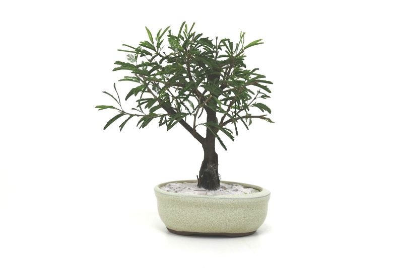 Bonsai Caliandra Branca 02  anos - medida da planta (AxL) 17x14 centímetros