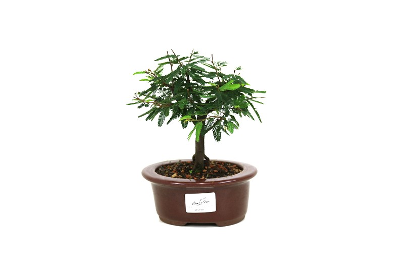 Bonsai Caliandra Branca 03 anos - medida da planta (AxL) 13x14 centímetros