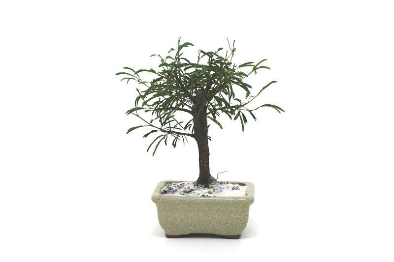Bonsai Caliandra Rosa 02  anos - medida da planta (AxL) 14x14 centímetros