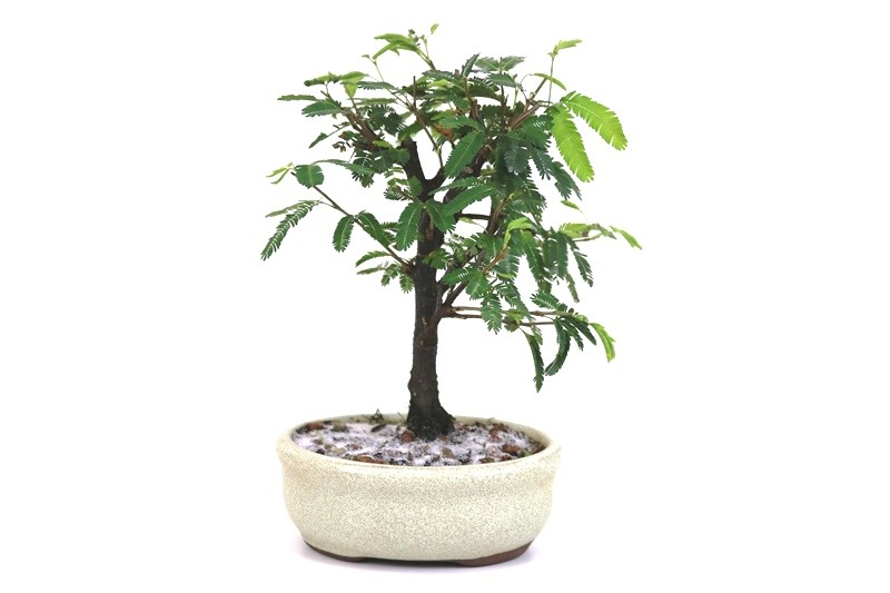 Bonsai Caliandra Rosa 02  anos - medida da planta (AxL) 17x14 cm