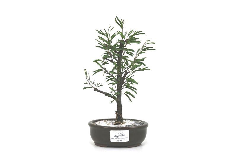 Bonsai Caliandra Rosa 02  anos - medida da planta (AxL) 19x10 centímetros