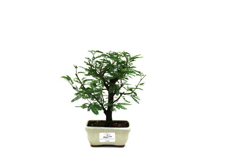 Bonsai Caliandra Rosa 02  anos - medida da planta (AxL) 19x17 centímetros