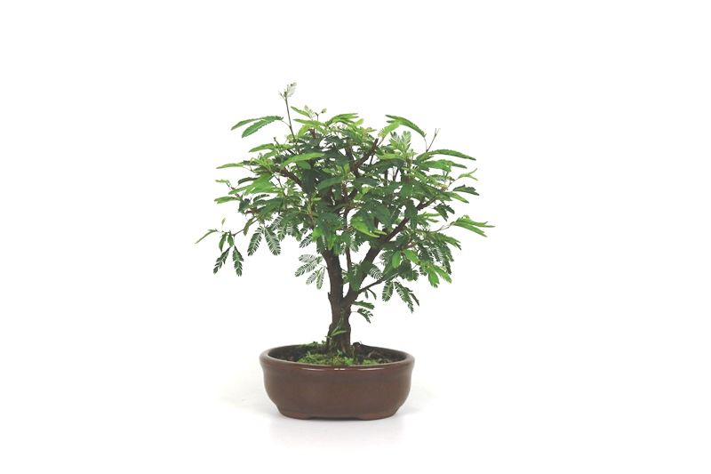Bonsai Caliandra Rosa 02  anos - medida da planta (AxL) 19x19 cm