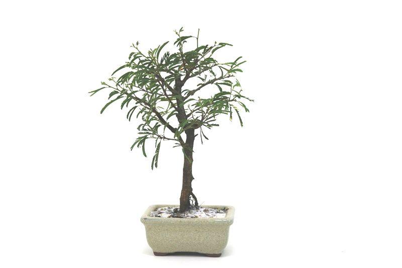 Bonsai Caliandra Rosa 02  anos - medida da planta (AxL) 20x14 centímetros
