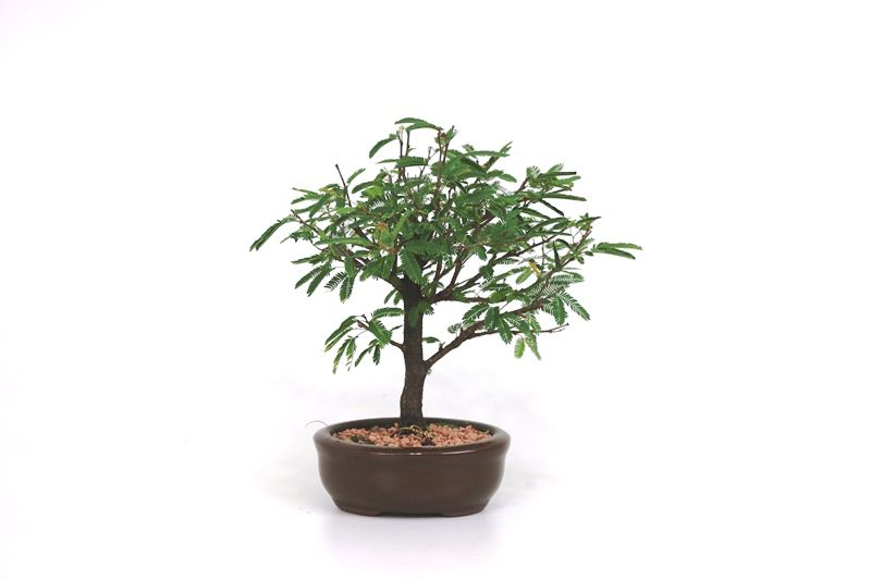 Bonsai Caliandra Rosa 02  anos - medida da planta (AxL) 20x19 cm