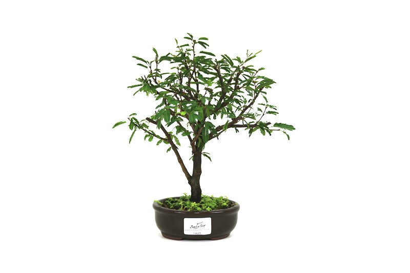 Bonsai Caliandra Rosa 02  anos - medida da planta (AxL) 21x18 cm