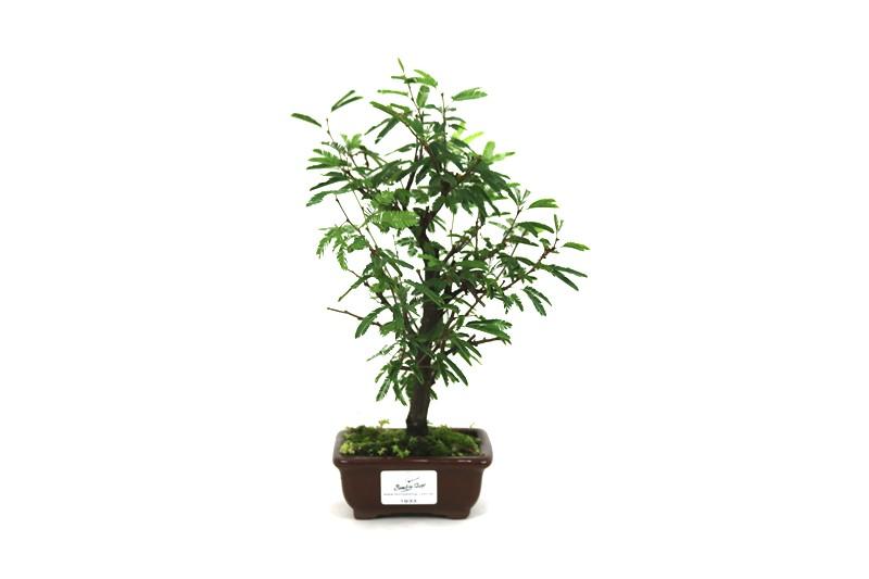 Bonsai Caliandra Rosa 02 anos - medida da planta (AxL) 22x13 cm