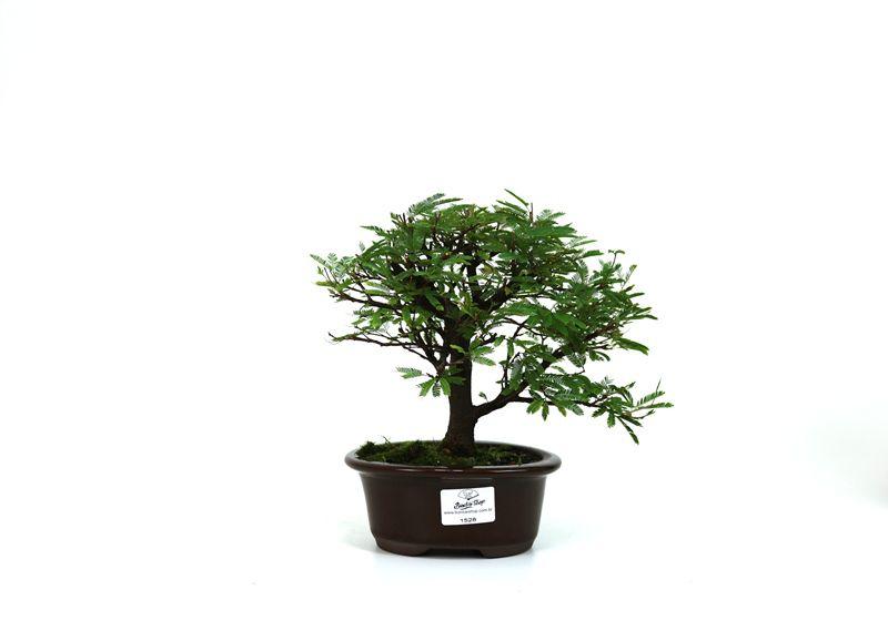 Bonsai Caliandra Rosa 03  anos - medida da planta (AxL) 17x18 centímetros