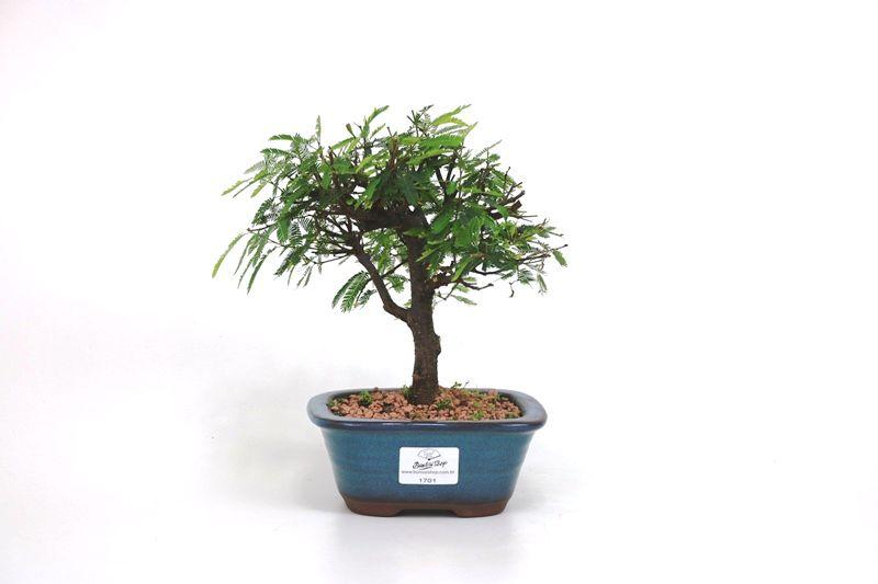 Bonsai Caliandra Rosa 03  anos - medida da planta (AxL) 18x18 cm