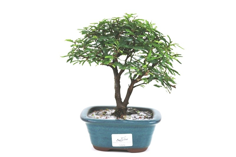Bonsai Caliandra Rosa 03 anos - medida da planta (AxL) 18x20 cm