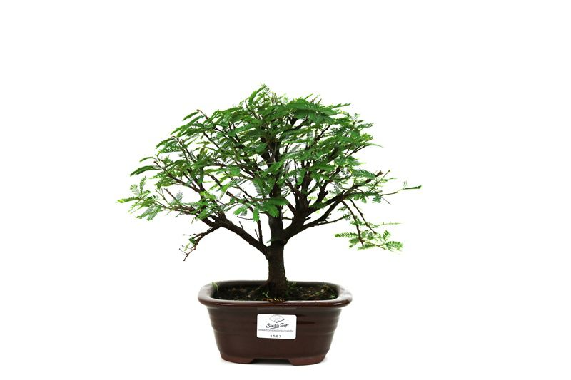 Bonsai Caliandra Rosa 03  anos - medida da planta (AxL) 18x21 centímetros