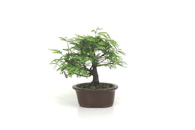 Bonsai Caliandra Rosa 03  anos - medida da planta (AxL) 18x21 cm