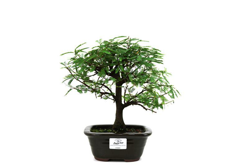 Bonsai Caliandra Rosa 03  anos - medida da planta (AxL) 18x24 centímetros