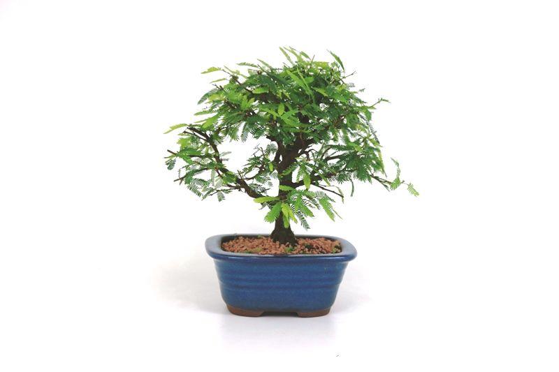 Bonsai Caliandra Rosa 03  anos - medida da planta (AxL) 19x20 cm